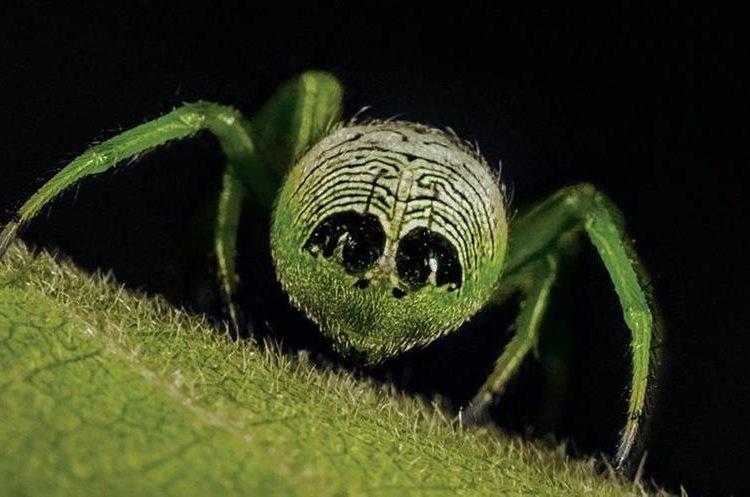 La mayoría de estas arañas que pertenecen a la familia de las araenomorfas construye su tela en forma de espiral circular. ROBERT WHYTE