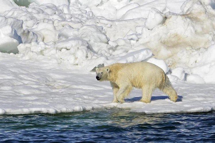 Un oso polar camina en el mar de Chukchi, Alaska. (Foto Prensa Libre: AP).