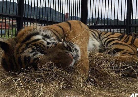 Max un tigre que también fue rescatado disfruta de su nueva vida. (Foto Prensa Libre: Cortesía ADI).