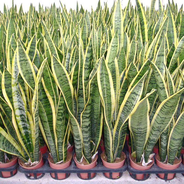 La planta conocida como lengua de suegra o lengua de tigre tiene la capacidad de sobrevivir en condiciones desfavorables.