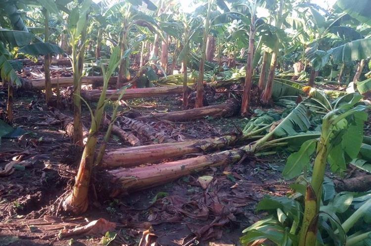 Pequeñas plantaciones de banano también resultaron con daños por las lluvias. (Foto Prensa Libre: Cristian Icó)