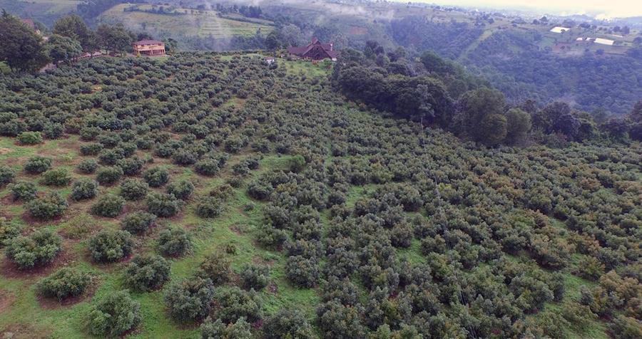 Por las condiciones de clima, Chimaltenango y Sacatepéquez son los lugares de potencial crecimiento del cultivo de aguacate para atender el mercado local e internacional, según productores y autoridades.(Foto Prensa Libre: Hemeroteca)