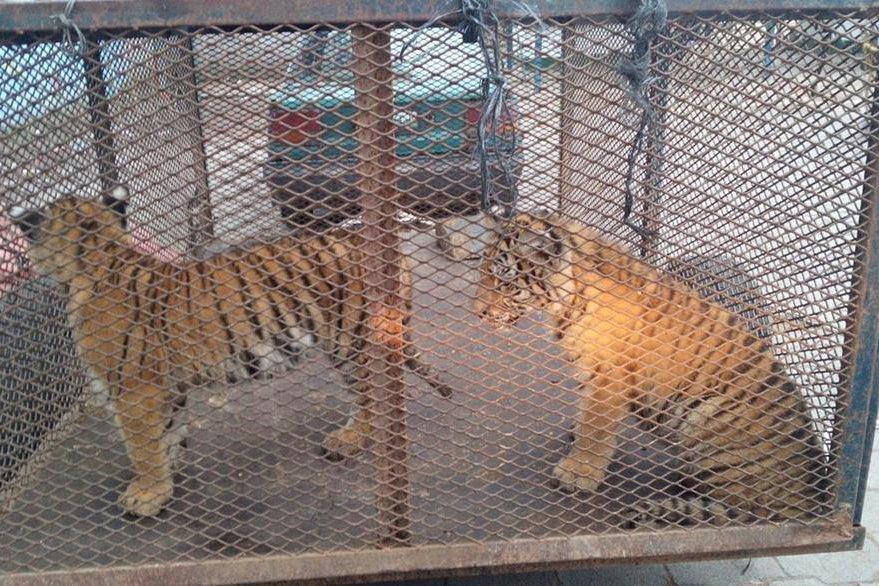 Tigres fueron intercambiados por cabras con el Rey Gitano, en Xela. (Foto Prensa Libre: María J. Longo)