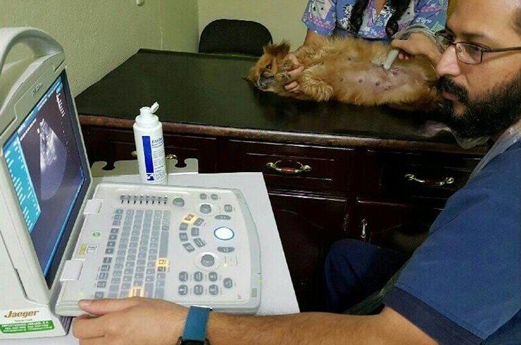 Control Gestacional  de la perrita Teffy. (Foto Prensa Libre: Hospital Pet a Vet).