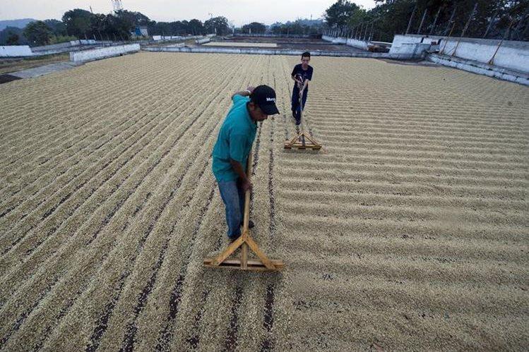 El café es uno de los principales cultivos de de exportación. (Foto Prensa Libre: Hemeroteca PL).