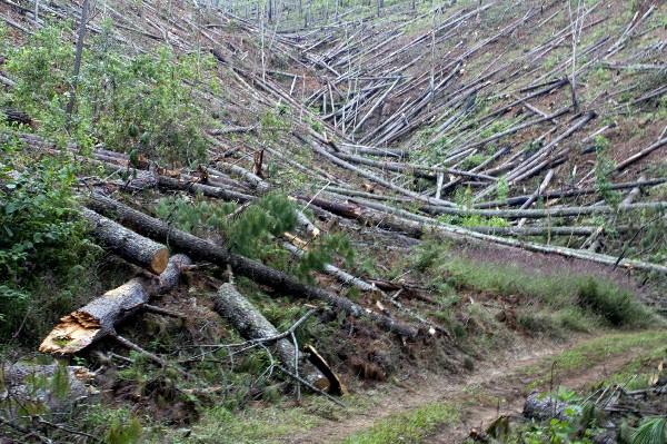 <br /> El gorgojo ha destruido este año más de 400 mil hectáreas de pinares en Honduras.