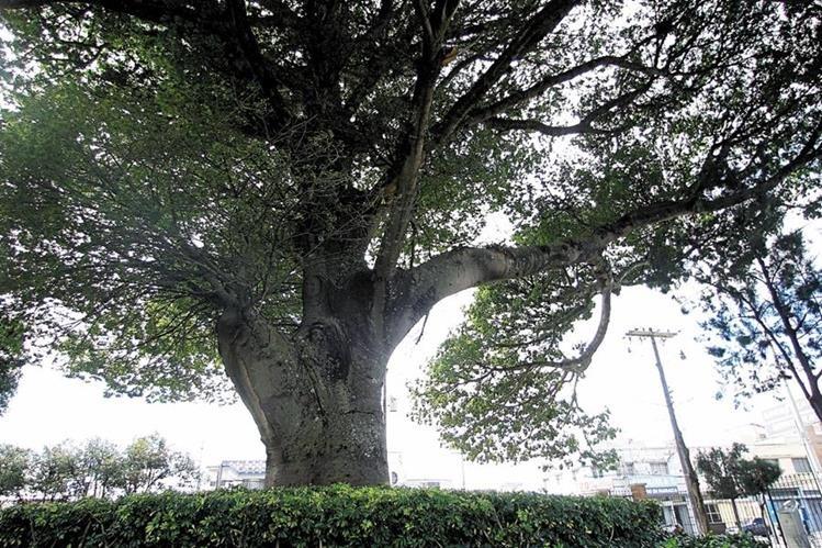 La Ceiba es el árbol nacional, sus ramas han abrigado la identidad guatemalteca desde antiguos tiempos. (Foto Prensa Libre: Hemeroteca PL).