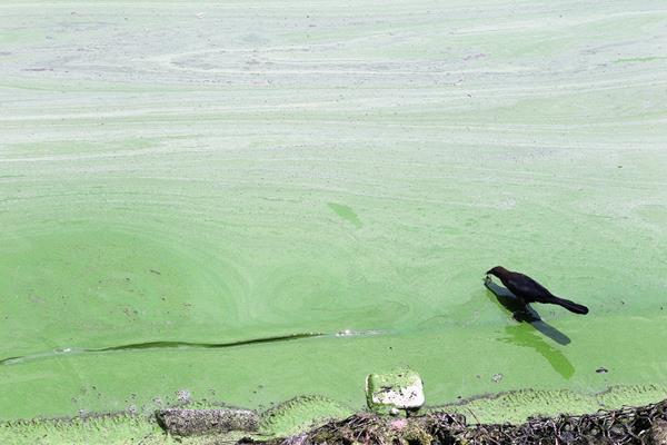 Compra de producto líquido para sanear el Lago de Amatitlán es de Q137.8 millones. (Foto Prensa Libre: Esbin García)