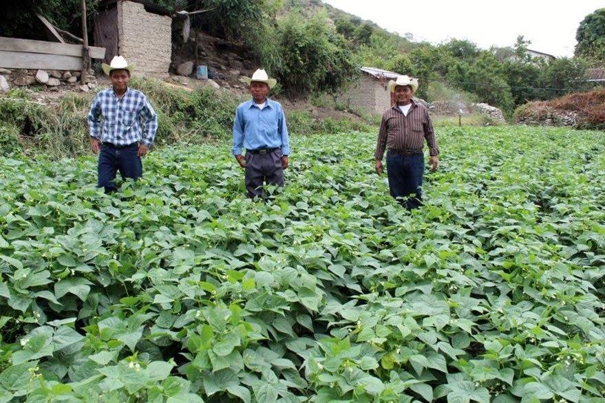Producción de ejotes en Sacapulas, Quiché. (Foto Prensa Libre: Óscar Figueroa).