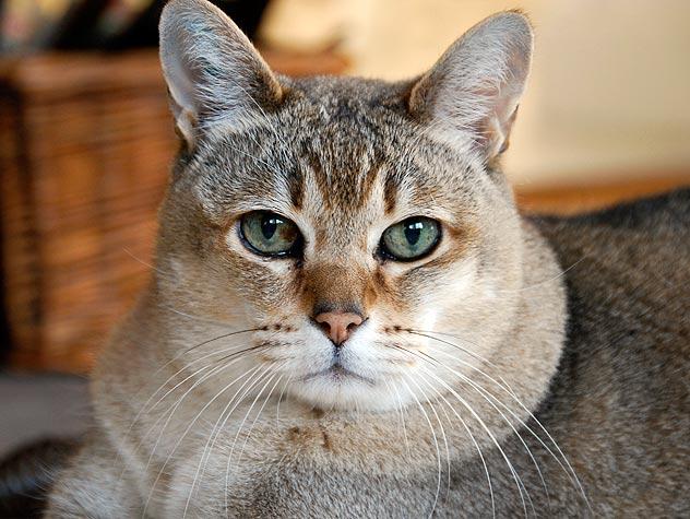 Los gatos son por naturaleza animales limpios; sin embargo, cuando no son atendidos y cuidados de manera adecuada por sus dueños, pueden contraer enfermedades. (Foto: Hemeroteca PL).