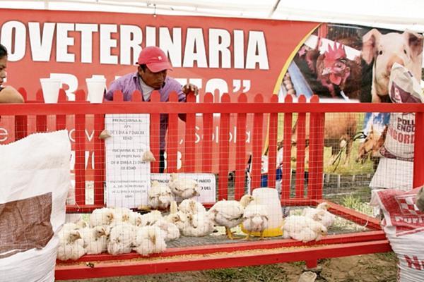 Algunos de  los animales    que se pusieron a la venta durante la feria agropecuaria, en  Sololá.