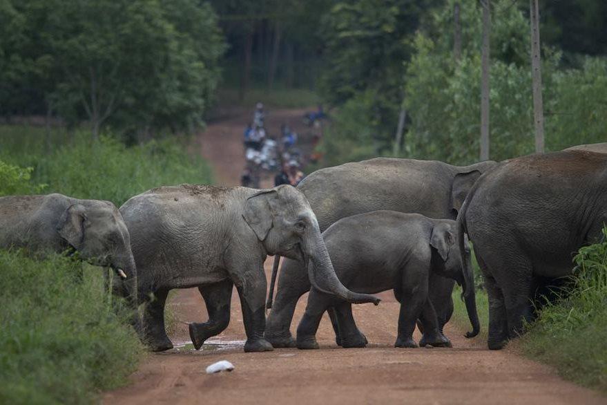 Se calcula que en Tailandia hay unos 3 mil elefantes salvajes, según el Centro de Conservación de Elefantes de Tailandia. (Foto Prensa Libre: AP).