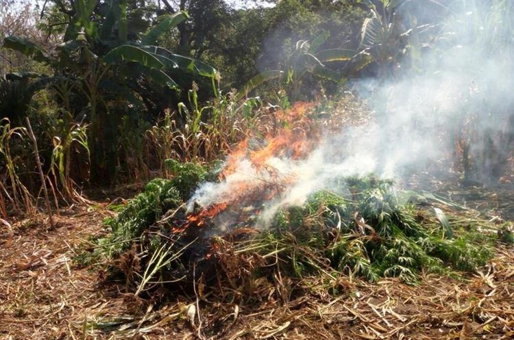 Agentes de la Deic erradicaron la marihuana localizada en un terreno de Camotán, Chiquimula. (Foto Prensa Libre: Mario Morales)