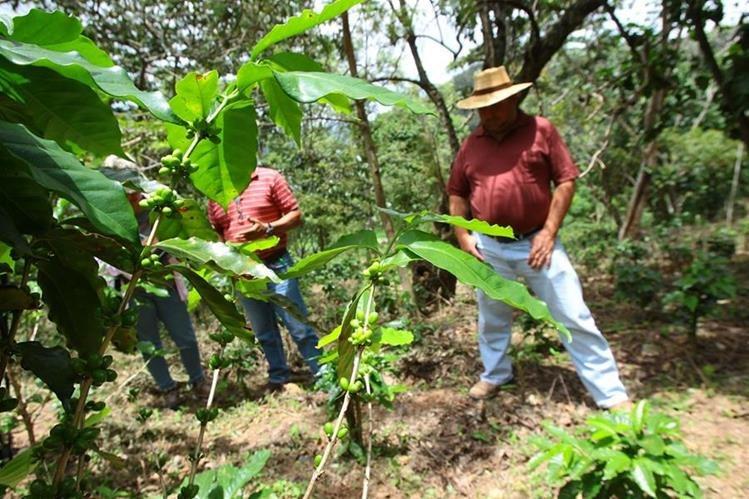 Productores acumulan gastos en jornales e insumos y no tendrán la cosecha que esperaban. (Foto Prensa Libre: Alvaro Interiano)