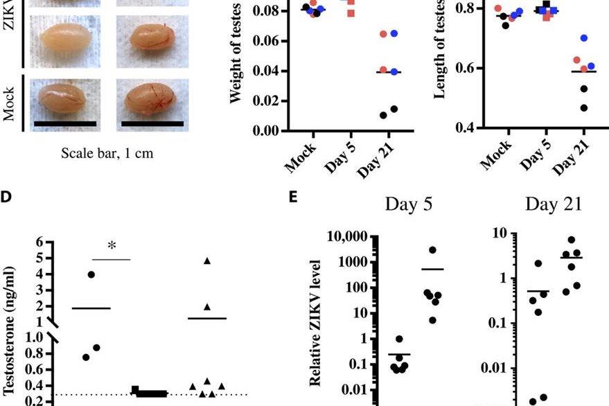 Imagen muestra la diferencia de tamaño de los testículos de ratones sanos e infectados con zika. (Foto Prensa Libre, tomado de Science Advances)