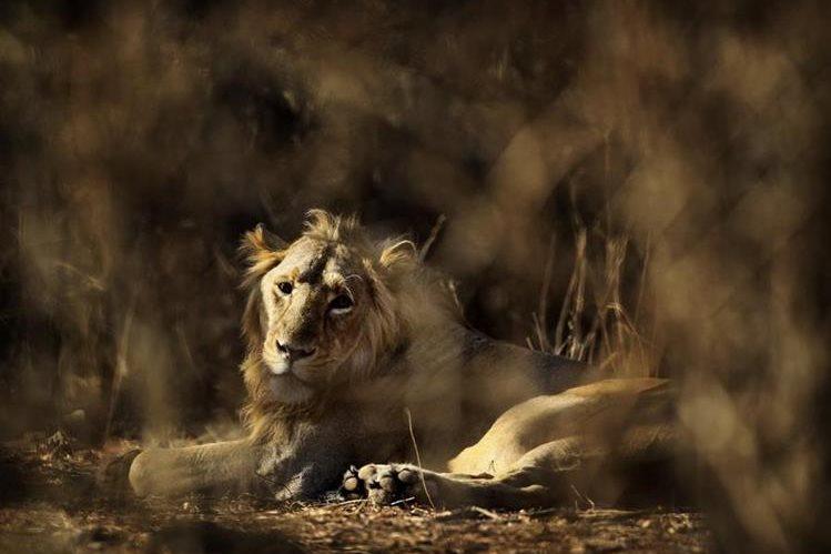 Un leon descansa en el santuario de la India donde han ocurrido los ataques. (Foto Prensa Libre: AP).