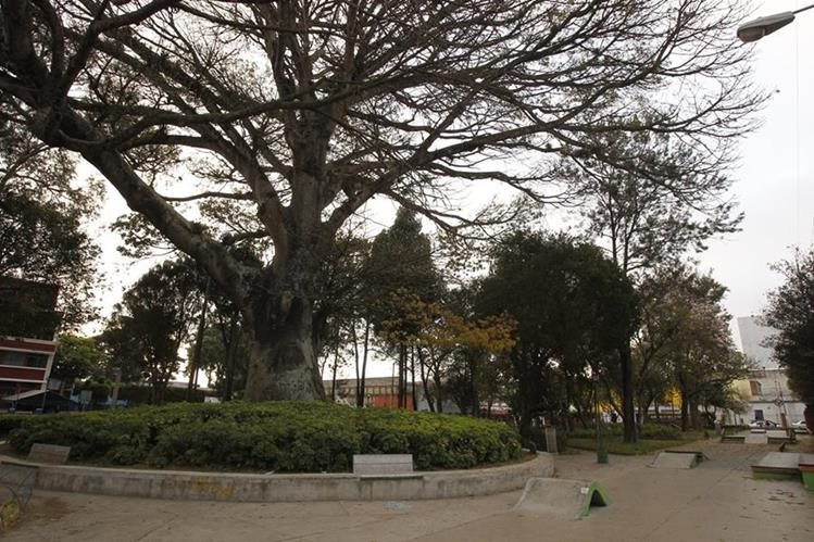 La Ceiba del parque de San Pedrito, zona 5, fue plantada en 1778. (Foto Prensa Libre: Paulo Raquec)