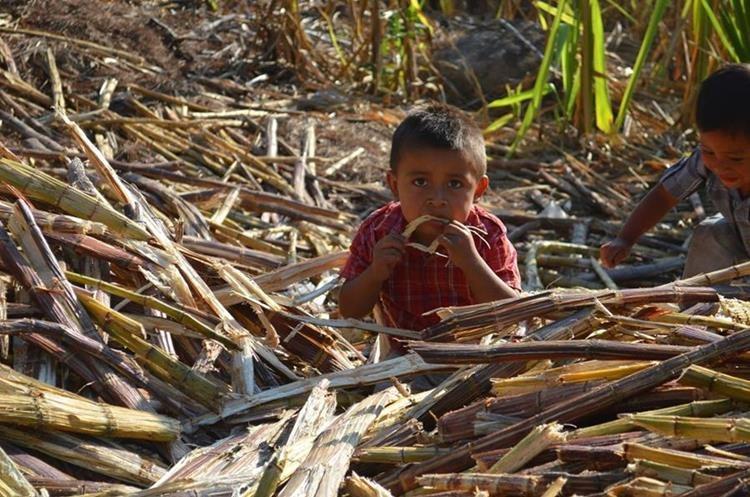 La caña de azúcar también se disfruta en trozos. La molienda de ese fruto es un oficio de tradición familiar. (Foto Prensa Libre: Mario Morales)