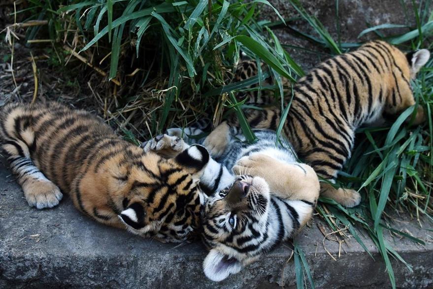 Dos de los cuatro tigres de bengala nacieron en un zoológico privado de El Salvador. (AFP).