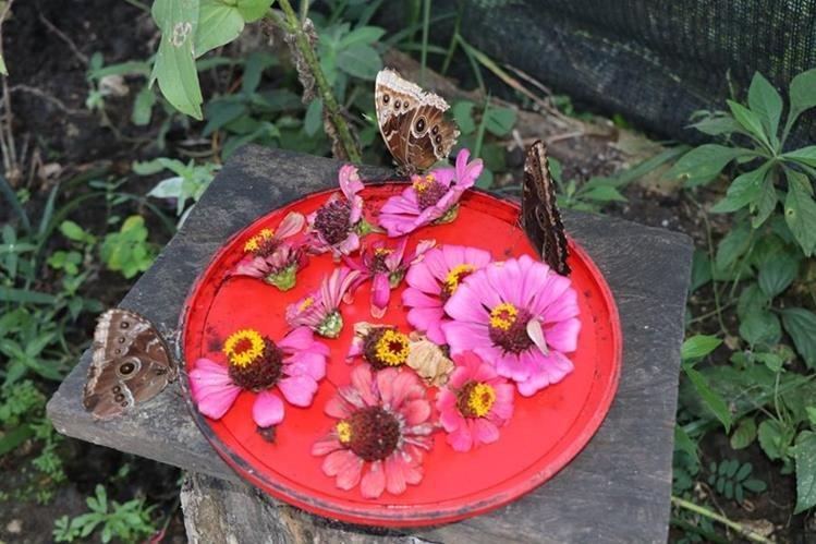 Algunas de las mariposas que son protegidas por la familia Guerrero Contreras. (Foto Prensa Libre: Rigoberto Gómez).