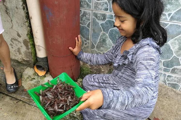 Una niña recoge decenas de zompopos en Barberena, Santa Rosa. (Foto Prensa Libre: Oswaldo Cardona)