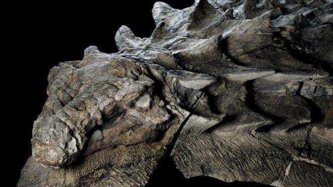 Los expertos han quedado fascinados por lo intacto que fue hallado el nodosaurus, aunque solo pudieron rescatar la mitad del fósil. ROBERT CLARK/NATIONAL GEOGRAPHIC
