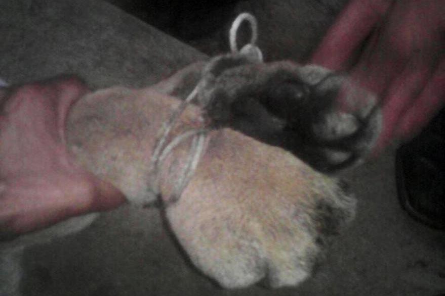 Imagen muestra el maltrato que sufrió el puma. (Foto Prensa Libre: Mi Voz Por la Tuya)