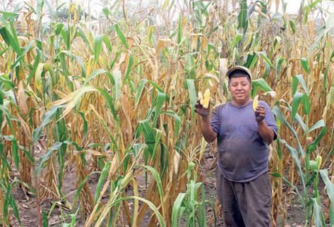 José Bran, de Sanarate, El Progreso, muestra el escaso crecimiento de las mazorcas.