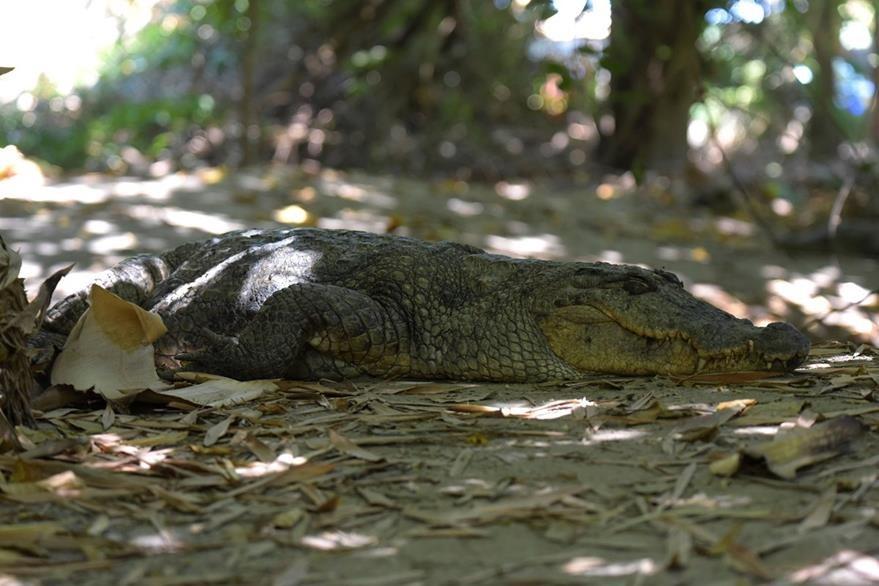 Los ataques de cocodrilos a humanos son usuales. (Foto Prensa Libre: AFP)