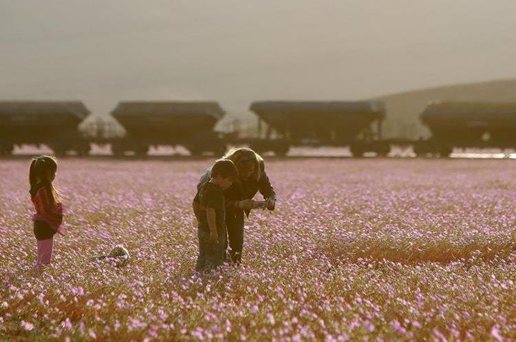 """CH07. VALLENAR (CHILE), 25/10/2015.- Fotografía del 21 de octubre de 2015 del árido desierto de Chile que cada cinco o siete años se transforma en una alfombra de flores de color malva pero las abundantes precipitaciones que han mojado la hostil tierra norteña del país estos últimos meses, han propiciado el """"florecimiento más espectacular de los últimos 18 años"""", en la región de Atacama, localidad distante a 750 kilómetros al norte de Santiago (Chile). EFE/Mario Ruiz"""