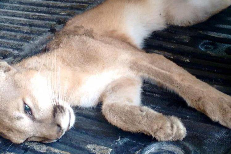 Puma que rescatado en la comunidad de Tamagás Creek, Lívingston, Izabal. (Foto Prensa Libre: Edwin Perdomo)