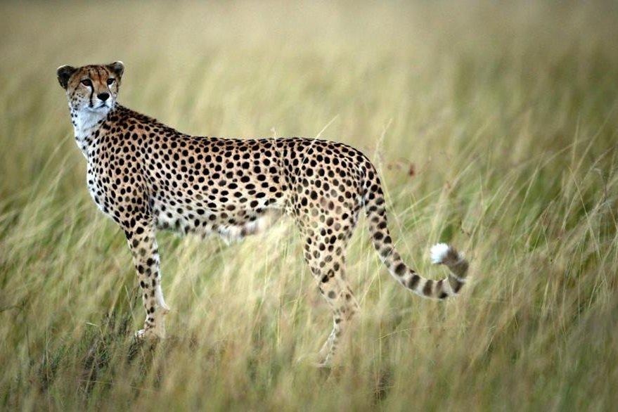 El guepardo es considerado el animal mas rápido del mundo. (Foto Prensa Libre: EFE).