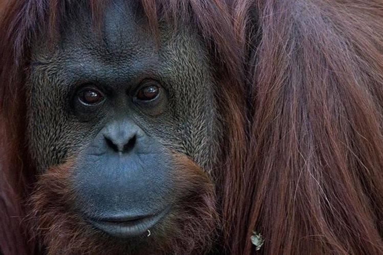 Un santuario natural en Brasil aceptó alojar a Sandra, una orangután de casi 30 años que vive en el zoológico de Buenos Aires.