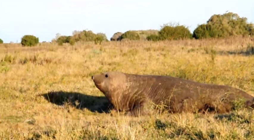 Un elefante marino se desplaza por los campos. (Foto Prensa Libre: YouTube)