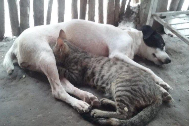 Perrita amamanta a gatita en comunidad de Flores, Petén. (Foto Prensa Libre: Rigoberto Escobar)