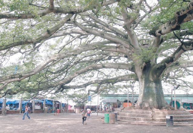 La centenaria ceiba preside el parque central de Palín y es el testigo de eventos importantes del municipio. (Foto: Hemeroteca PL)