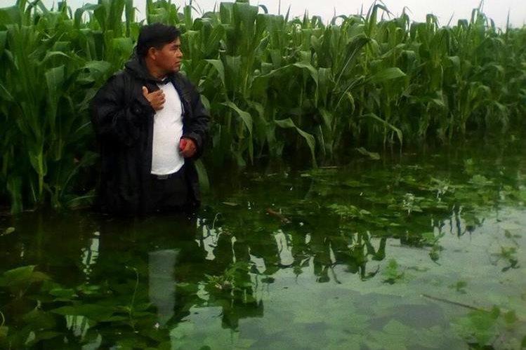 Un agricultor de Quimala, Chisec, Alta Verapaz, observa los cultivos de maíz que fueron dañados por el desborde del río Chixoy. (Foto Prensa Libre: Eduardo Sam)