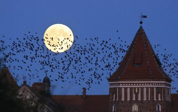 Una bandada de pájaros vuela sobre la Luna llena en Bielorrusia.