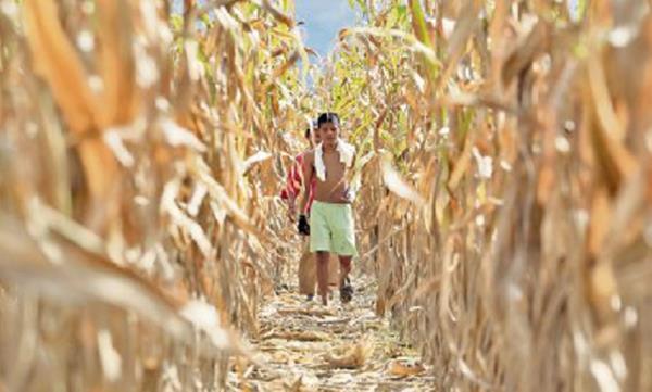 Cultivos de maíz afectados por sequía. (Foto: HemerotecaPL).