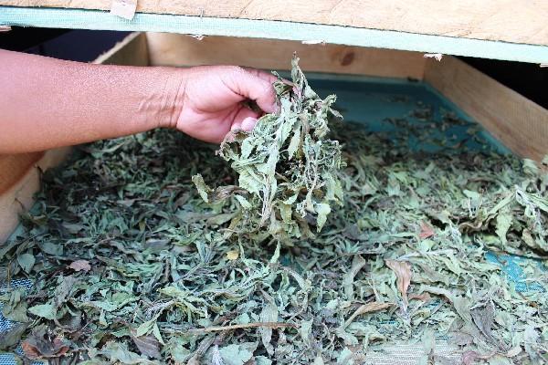 Se busca que el producto deshidratado se comercialice como té, para que no tenga ningún  proceso químico.