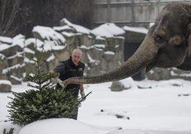 "<span class=""hps"">U</span><span class=""hps"">n elefante es alimentado con</span> <span class=""hps"">árboles de Navidad</span> <span class=""hps"">en Berlín. (Foto Prensa Libre:AP).</span>"