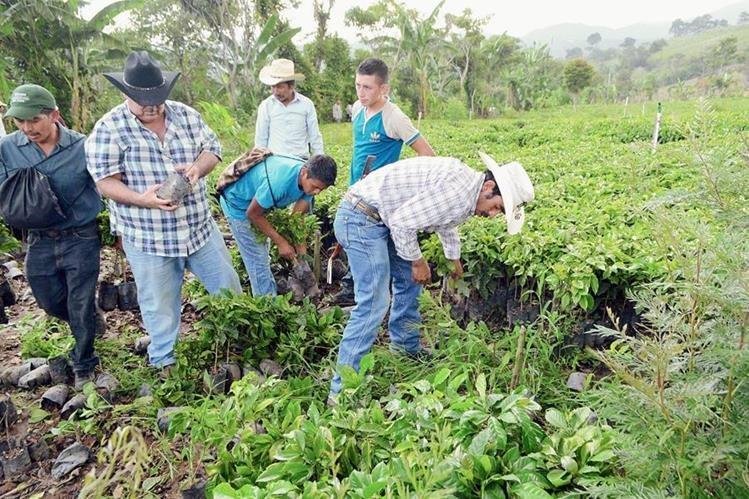 Cultivos de café de varias regiones del país fueron afectados por la roya. (Foto, Hemeroteca PL)
