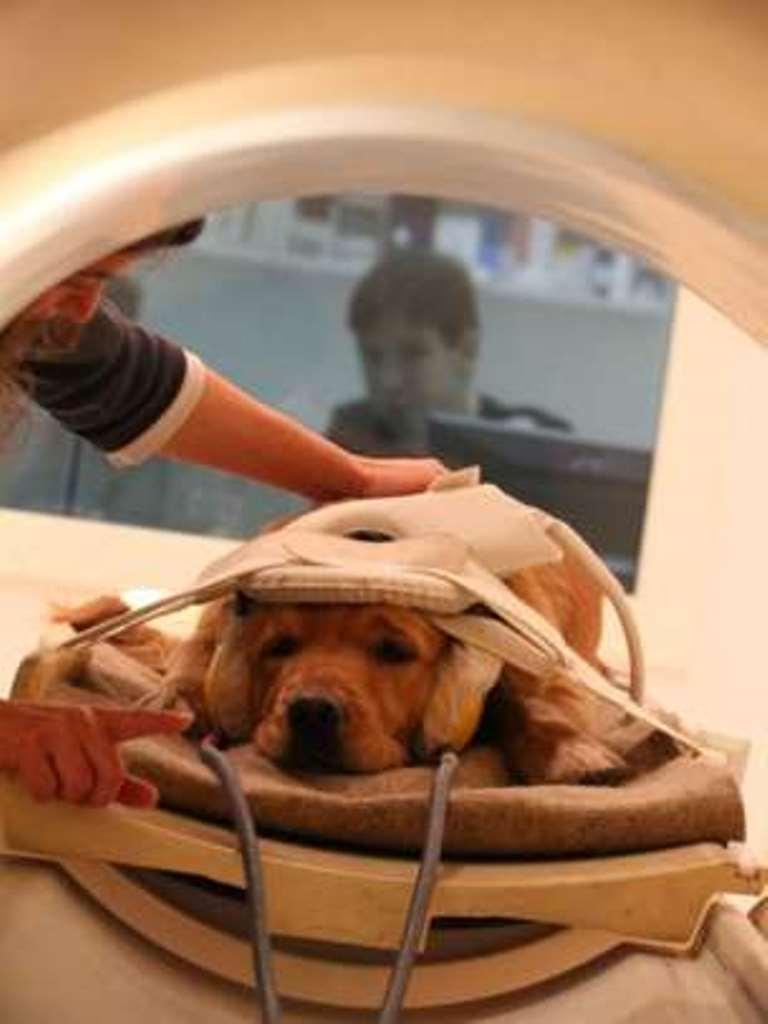 Uno de los perros del estudio durante el escaneo llamado imagen por resonancia magnética funcional. (UNIVERSIDAD EÖTVÖS LORÁND)