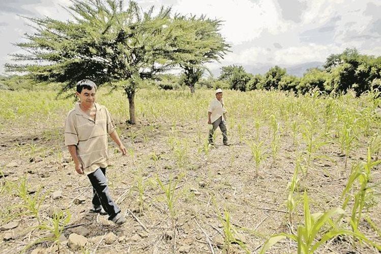 En años anteriores la sequía ha causado pérdidas en los cultivos en Chiquimula. (Foto Prensa Libre: Hemeroteca PL).