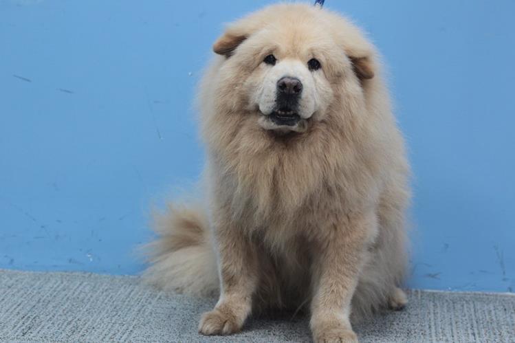 El chow chow Coffie, que visitó El Consultorio, tiene 13 años, lo que equivale a 74 años humanos.