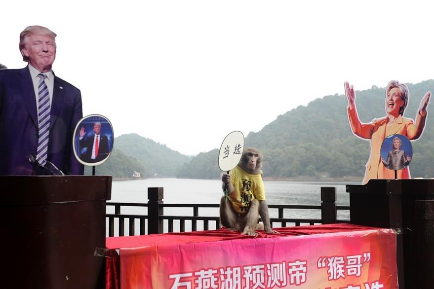 El mono Geda al centro de las fotografías del republicano Donald Trump (a la izq.) y la demócrata Hillary Clinton.  (Foto Prensa Libre: AFP).