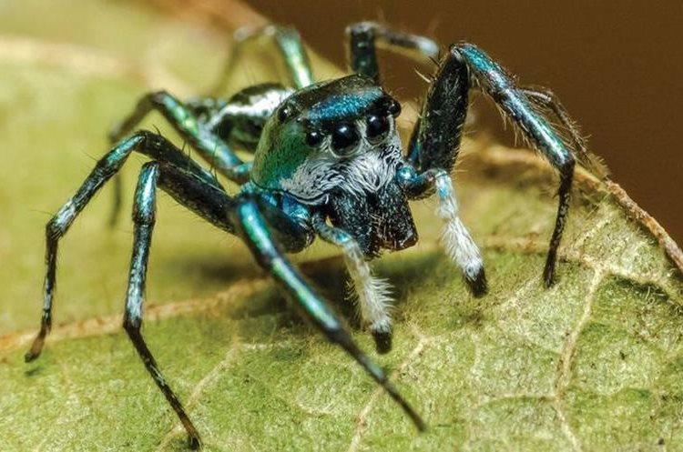 Esta araña saltadora de color verde fue fotografiada en Queensland. ROBERT WHYTE