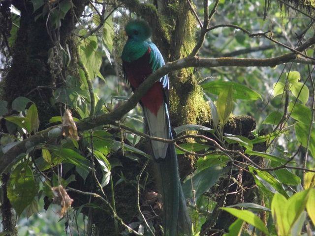 El biólogo estudia las señales del Pharomachrus mocinno para fines de monitoreo. (Foto: Cortesía Pablo Bolaños).