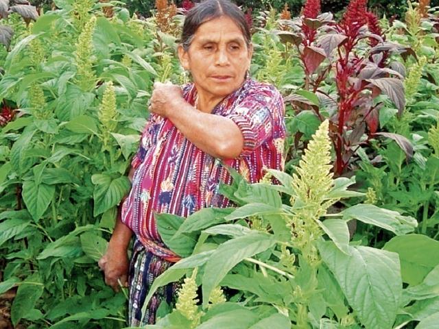 Un centenar de mujeres aproximadamente trabaja en la producción del cultivo. (Foto Prensa Libre: Cortesía)