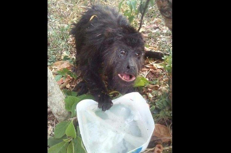 Este mono aullador fue rescatado de un incendio forestal en la Reserva de la Biosfera Maya. (Foto Prensa Libre: Miguel Carrera)